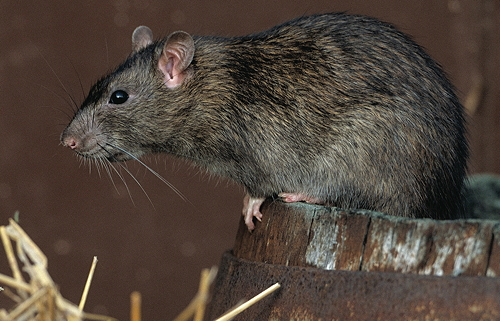 The Norway rat: an infestation of 200 will eat 1,100kg of feed in a year