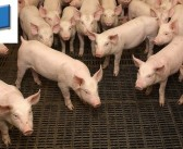 EU producers finally get clearance to use live oral PWD vaccine