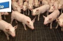 Elanco pigs