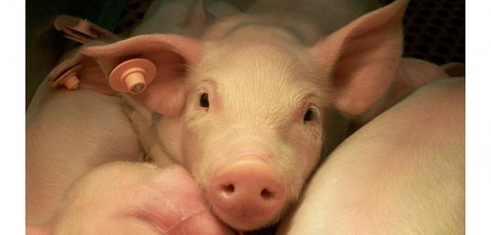 USDA_enzymes_piglets