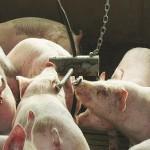 1602-AHDB_Pork_growers_A