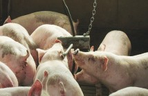 1602-AHDB_Pork_growers_A
