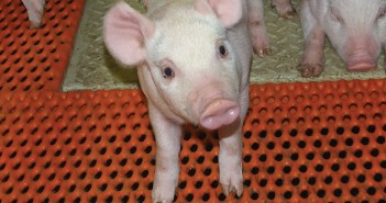 Two parallel systems of production may be required, with pigs produced antibiotic-free being moved across to conventional production if antibiotic treatment is required