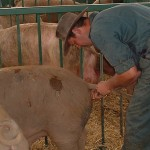 The top outdoor herds using Rattlerow genetics are achieving 27 pigs per sow per year