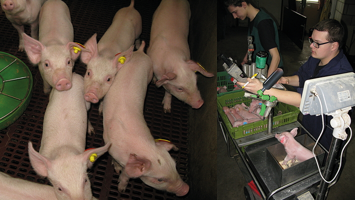 Every pure-bred piglet on multiplication farms is weighed within 24 hours of birth and fitted with an RFID eartag so that its progress can be measured