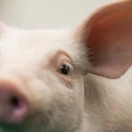 1607-Hamlet_Protein_piglet