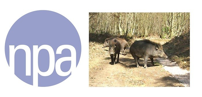 NPA + Wild boar in the forest