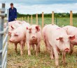 University of Leeds pig farm2