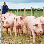 University of Leeds pig farm2