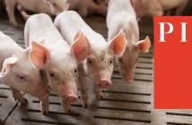 PIC logo + pigs