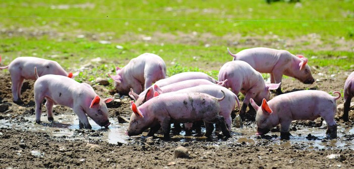 Pigs rarely show signs of a leptospirosis infection, yet they can easily contract the disease from the environment and contaminated water supplies