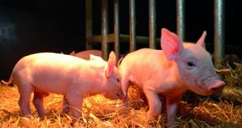 Roslin Pigs_2