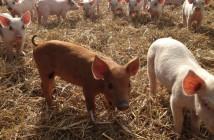 piglets2