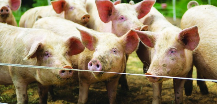 Police appeal for information after 200 pigs stolen in Cheshire