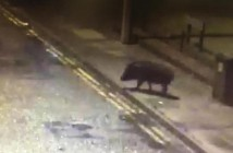 wild boar glos