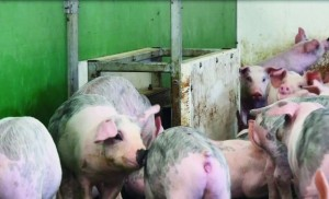 An in-pen weigher, a hot topic at the Pigs 2022 conference