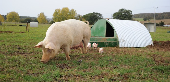 Unlocking the lifetime potential of young sows