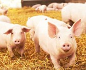 English pig herd increases in the first half of 2018