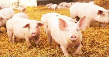 pigs on straw