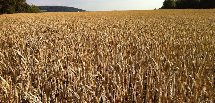 Trouw warns of high mycotoxin levels in crop samples