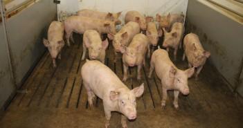 Dutch Pigs