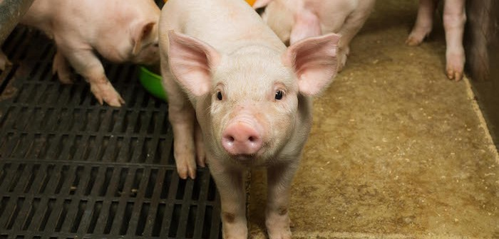 Danish pig herd expansion accelerates