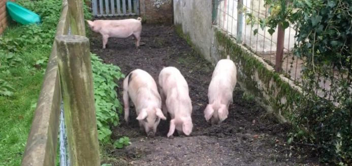 Hampshire pigs
