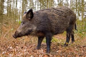 wild boar info images 06
