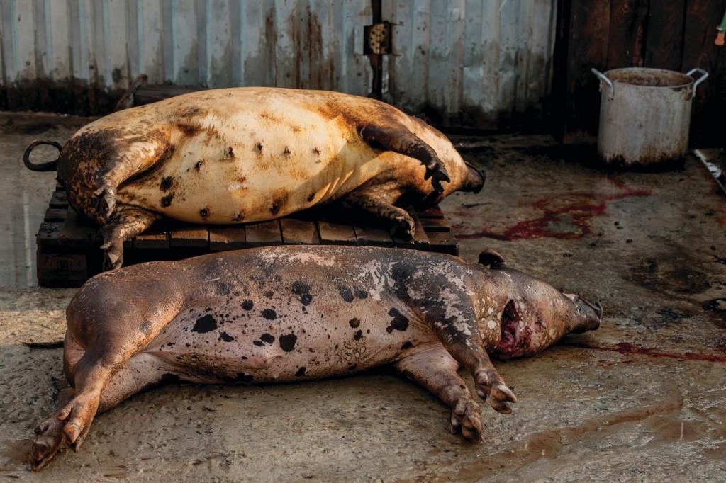 ASF dead pigs