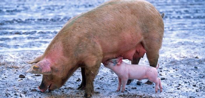 outdoor pig AHDB