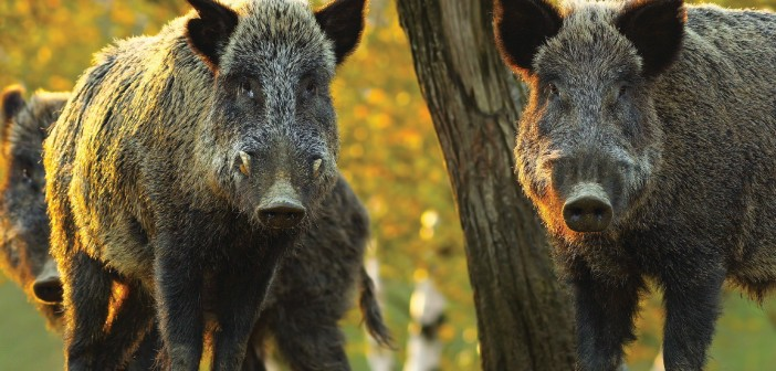 France to cull wild boar to keep out African swine fever