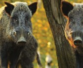 Number of wild boar confirmed with ASF in Belgium rises to 75