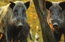 wild boar5