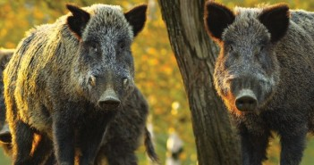 APHA urges people not to bring pork products back as easing of travel restrictions increases ASF risk