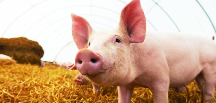 Pig on straw