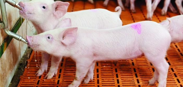 Pigs slatted