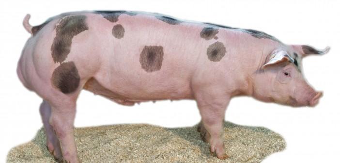 Klasse AI introduces market leading US boar to UK