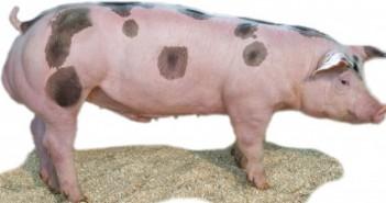EBX boar