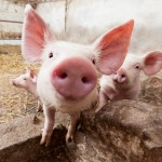 Piglet on pig farm staring into camera