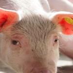 Pig looking close up