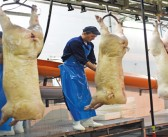Stable market for pig meat supplies in August