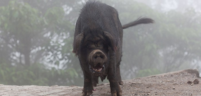 Pig over mist in Yuanyang