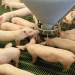 The cost of producing pigs remains high