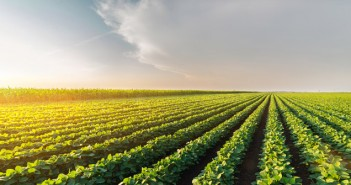 Agricultural soy plantation on sunny day - Green growing soybea