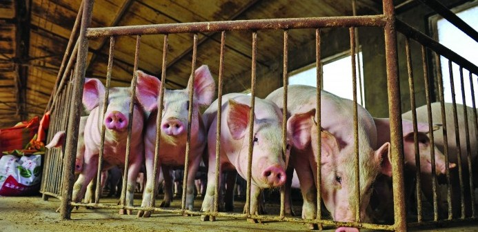 Chinese pig herd shows strong signs of recovery