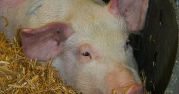 African swine fever symptoms