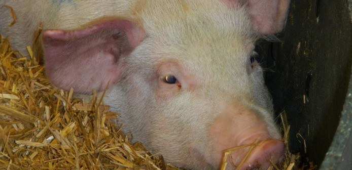 US pork sector on high alert after African swine fever confirmed in Dominican Republic