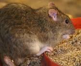 Tougher rodenticide rules for farmers on permanent baiting