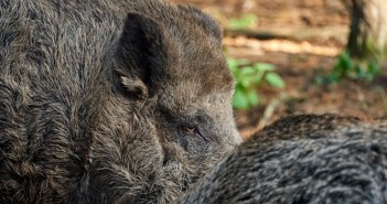 hunting boar in forest in case of swine fever