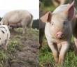Pig montage for AssureWel